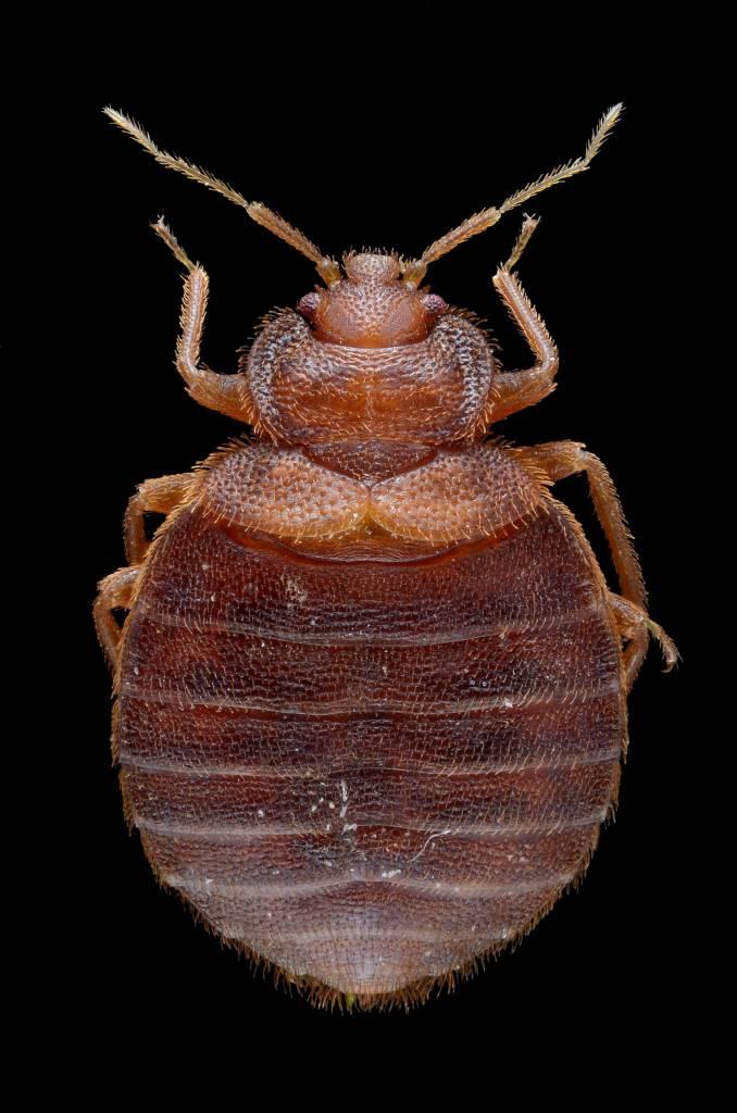 fleas in johannesburg